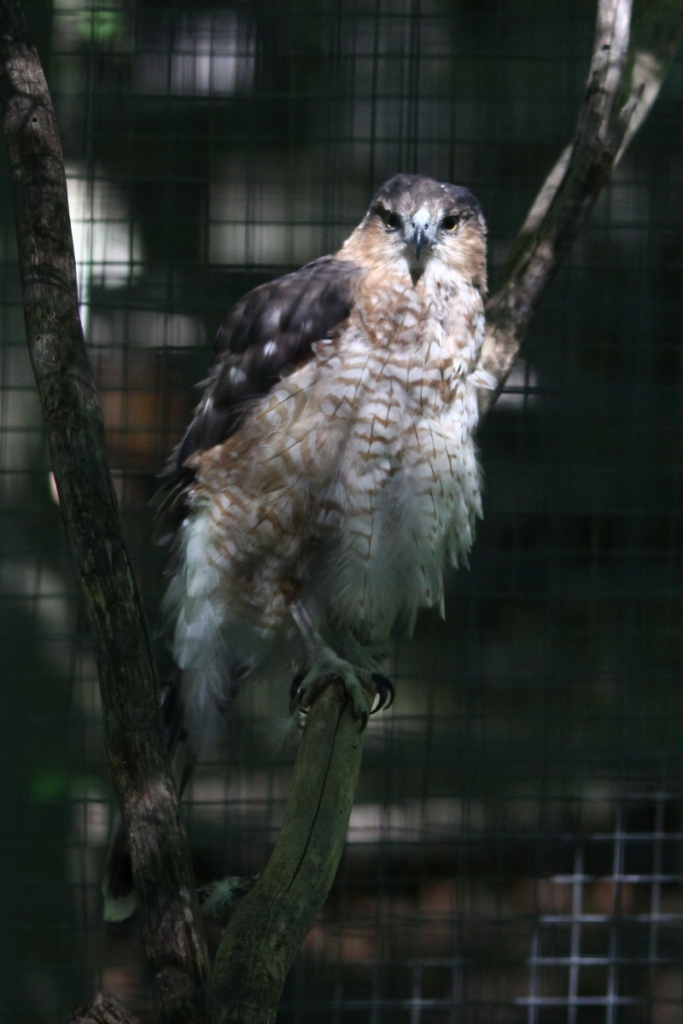 Sheldon, the Cooper's hawk hawk