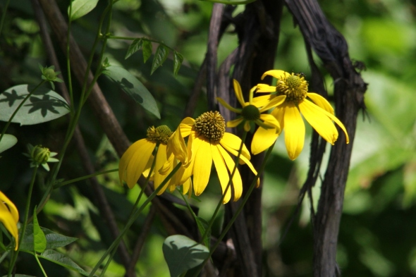 Gray-head coneflower