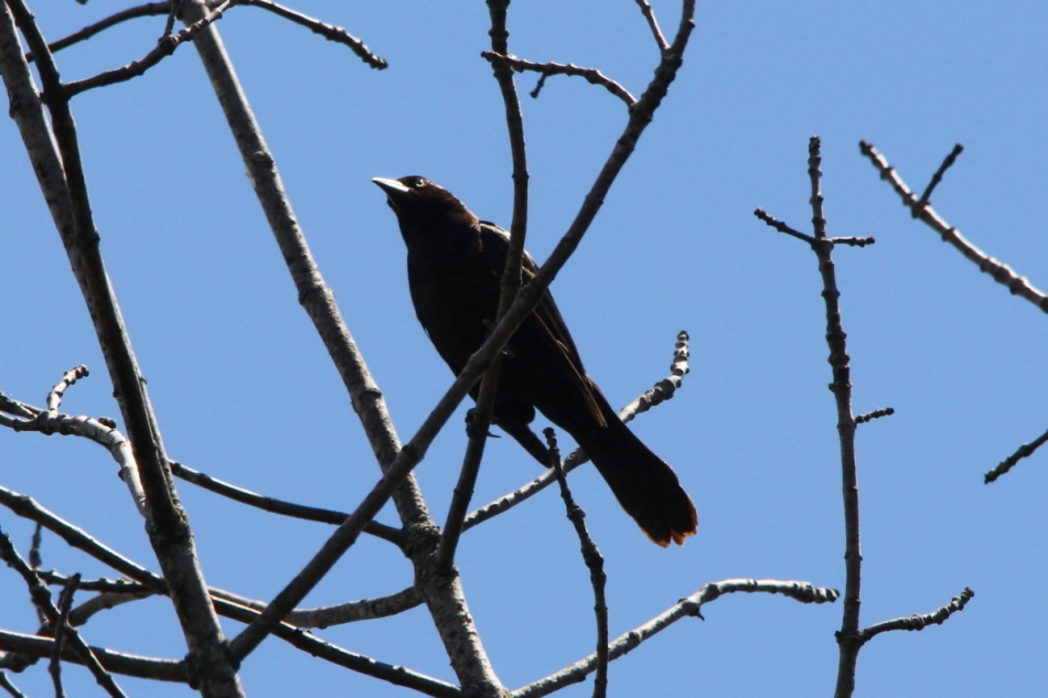 Female common grackle