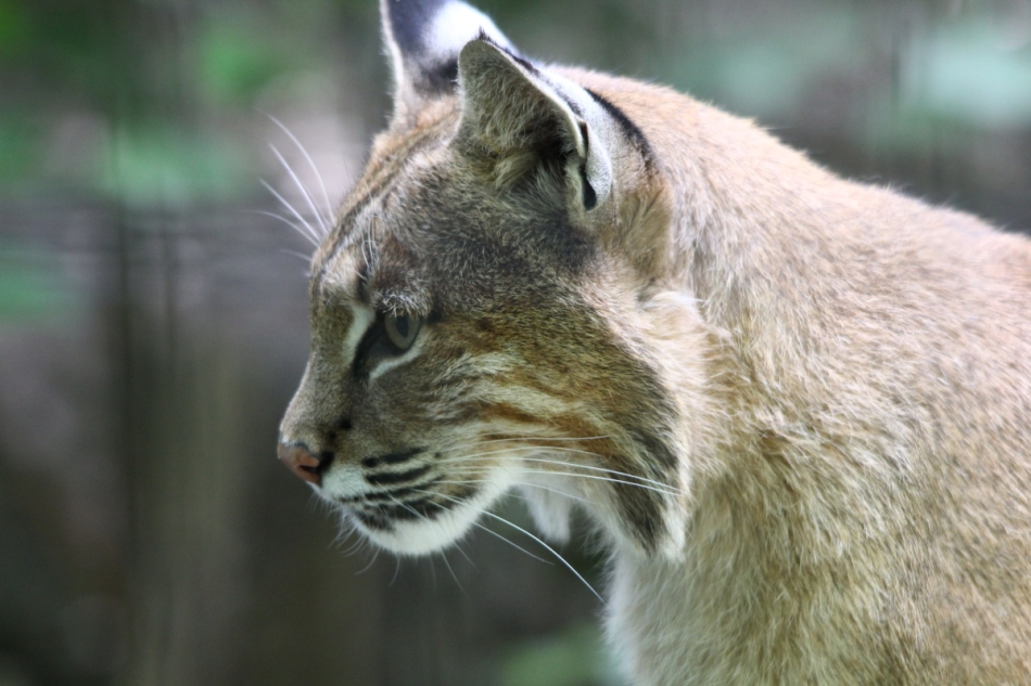 Bob, the bobcat
