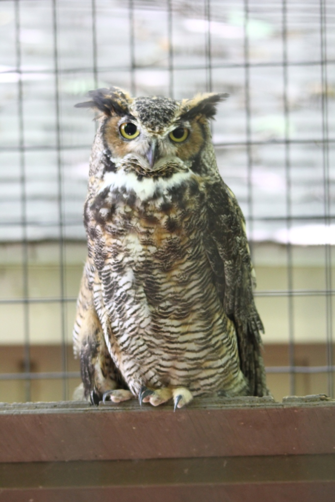 Stan, the great horned owl