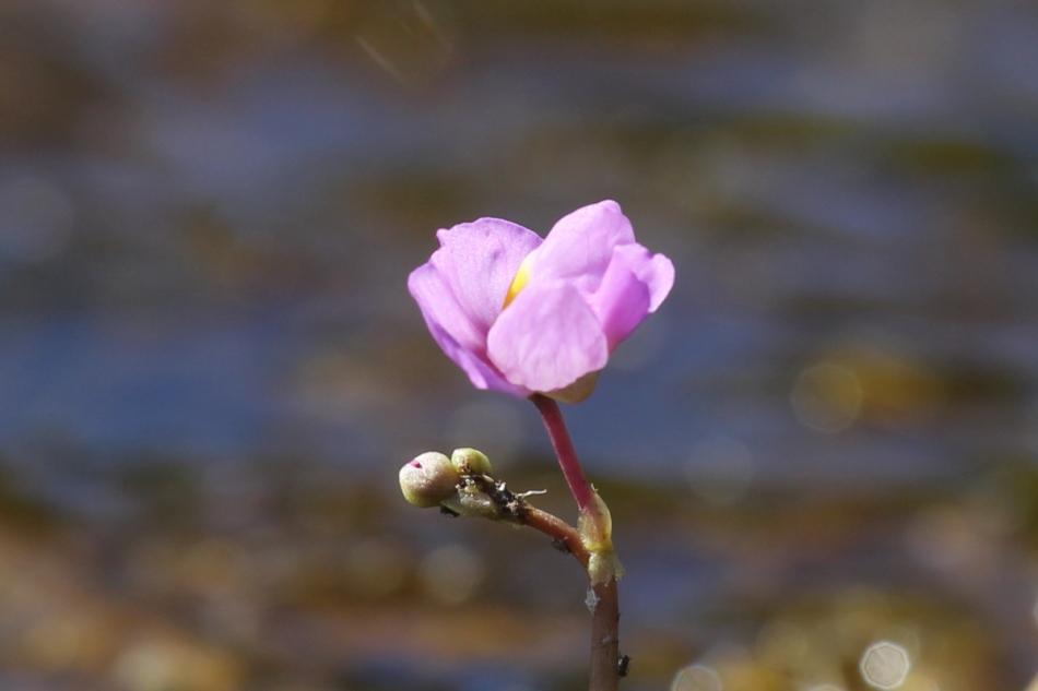 Purple Bladderwort Utricularia purpurea