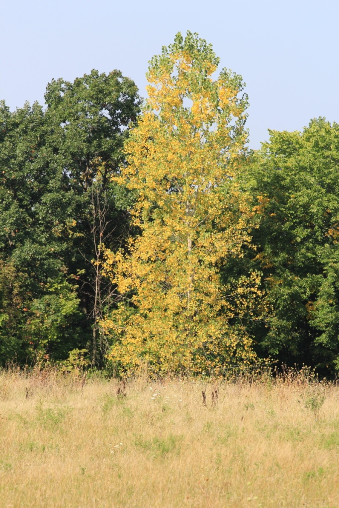 Poplar turning yellow