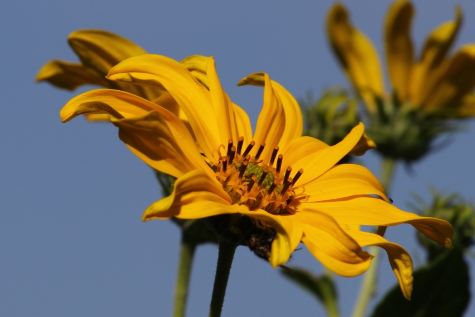 Heliopsis helianthoides (L.) Sweet – smooth oxeye