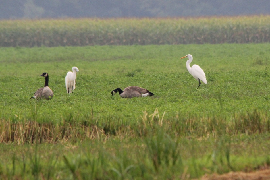 Great egrets and Canada geese