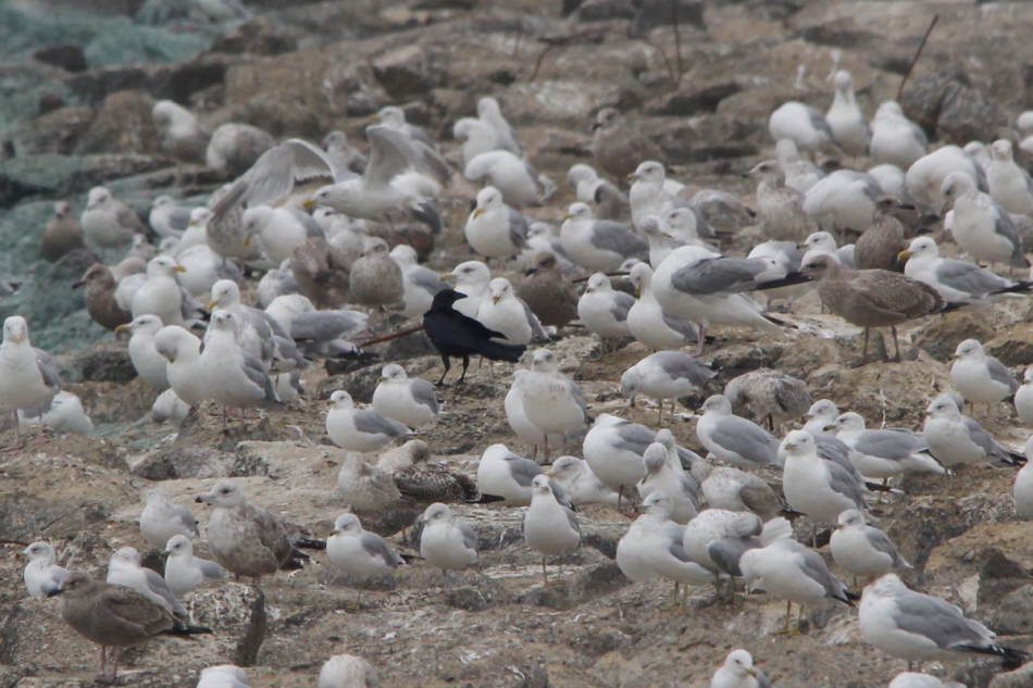 American crow hiding in a mixed flock of gulls