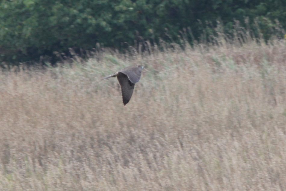 Peregrine falcon in flight