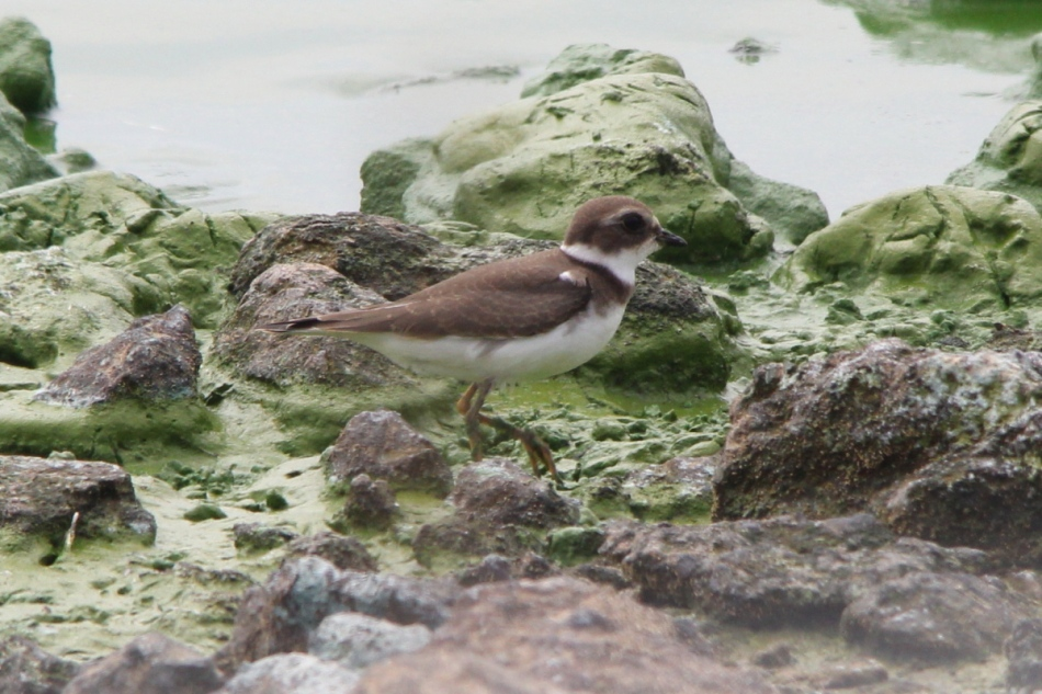 Semi-palmated plover, non-breeding