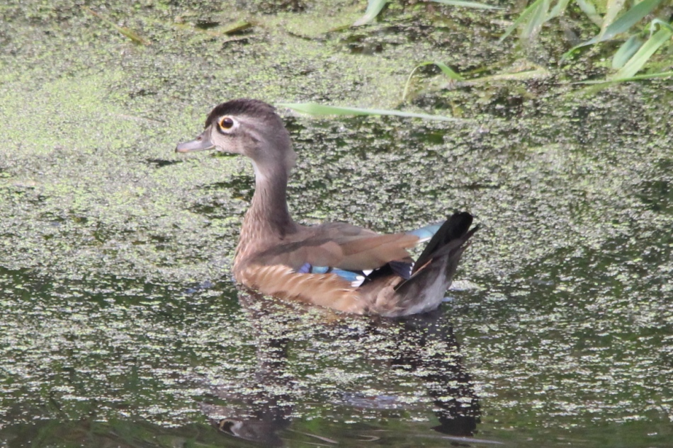 Male wood duck, non-breeding