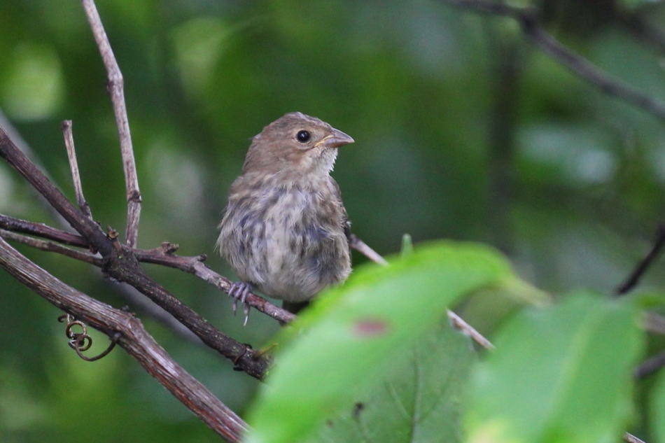 Juvenile song sparrow?