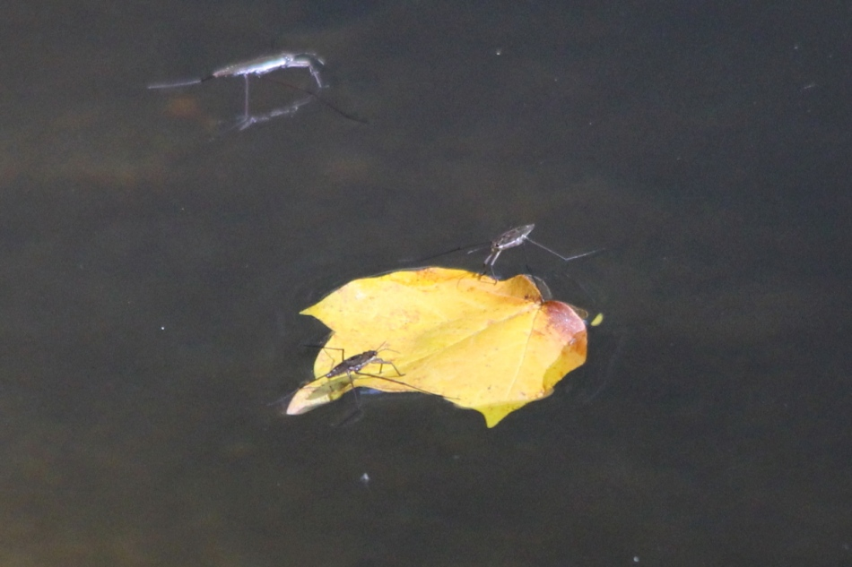 Floating leaf and waterstriders