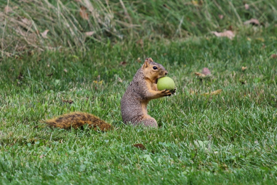 Fox squirrel with lunch