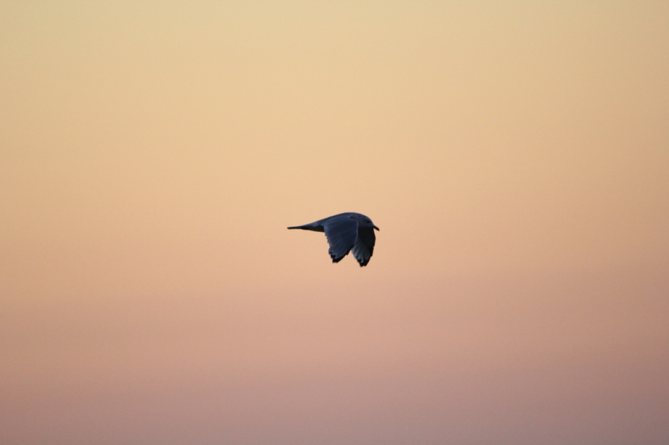 Gull at sunrise