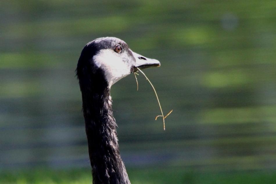 Guilty goose