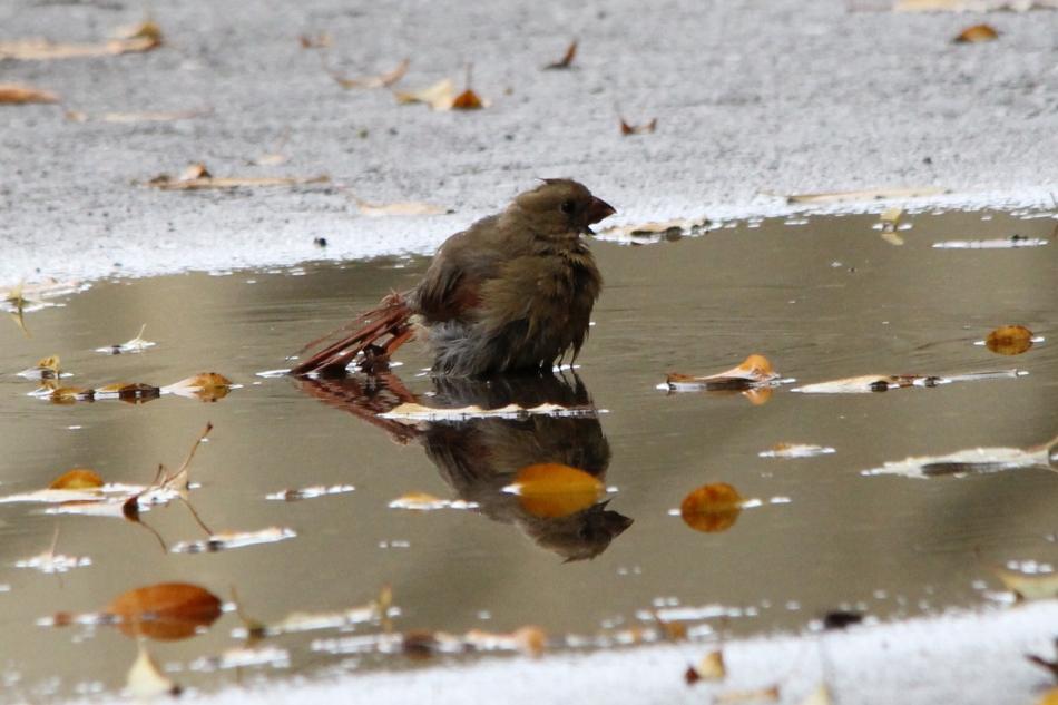 Female northern cardinal taking a bath