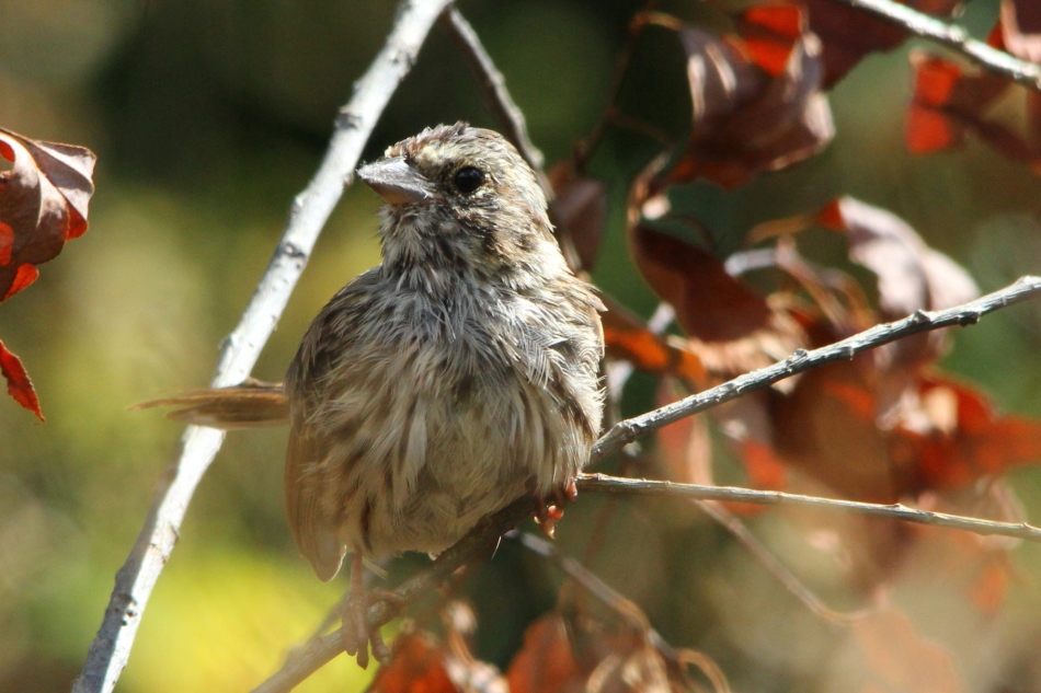 Juvenile male song sparrow