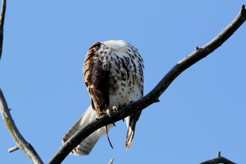 Headless young red-tailed hawk