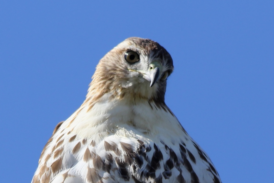 Young red-tailed hawk