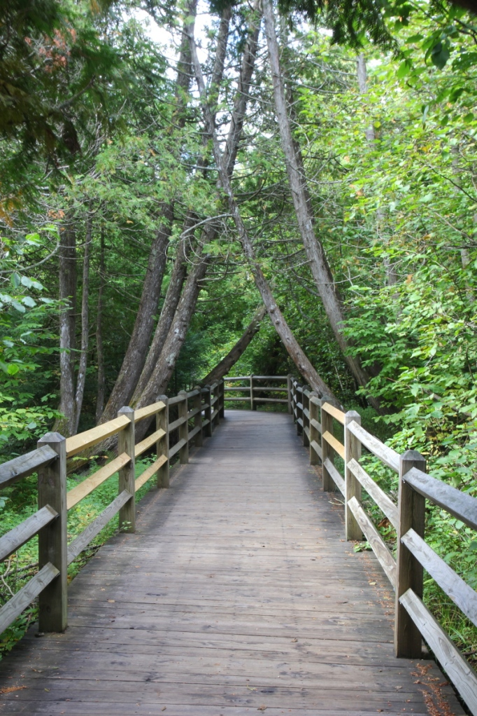 Cedars forming a canopy of the boardwalk
