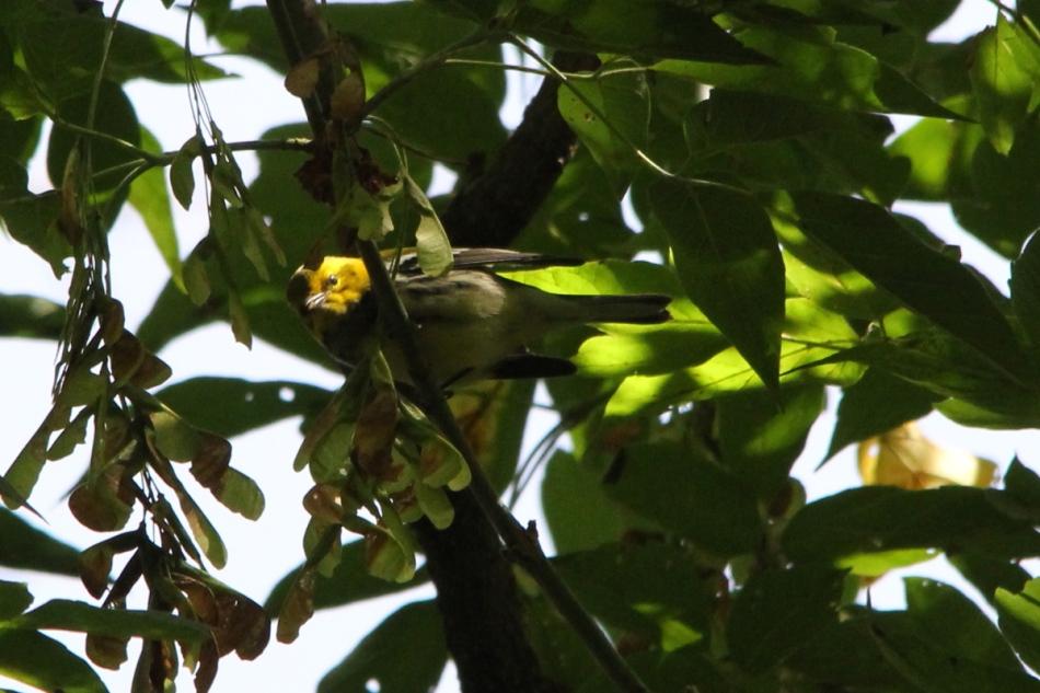Wilson's Warbler, Cardellina pusilla