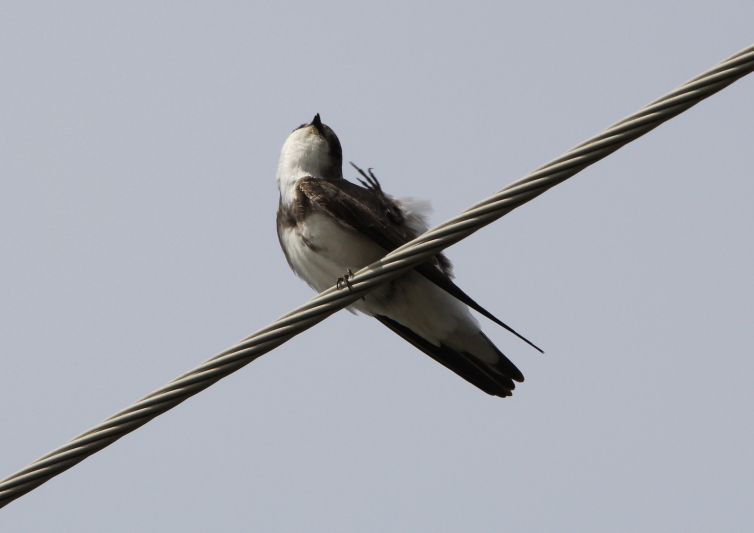 Bank swallow or sand martin
