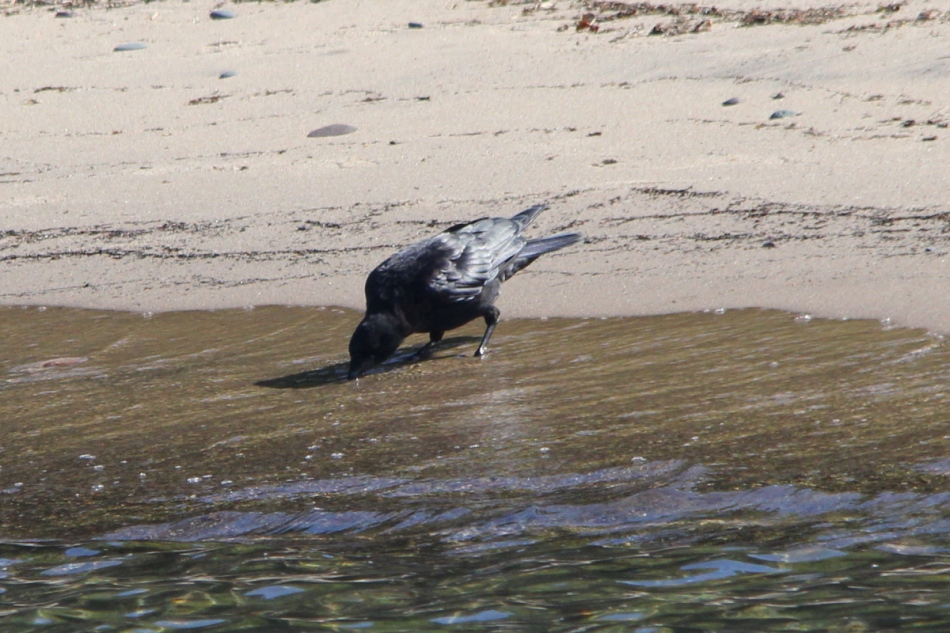American crow drinking from Lake Michigan