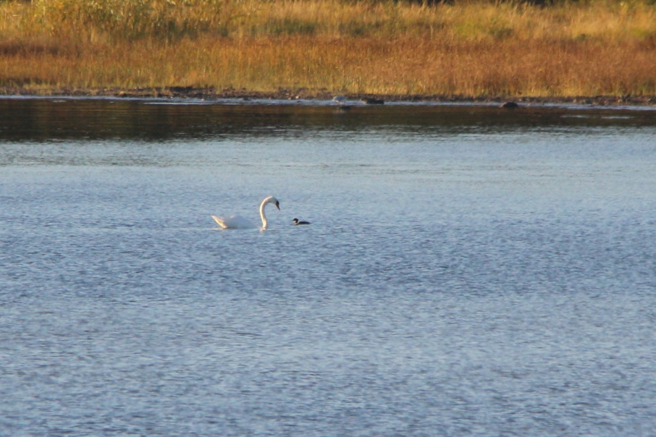 Mute swan and unidentified waterfowl