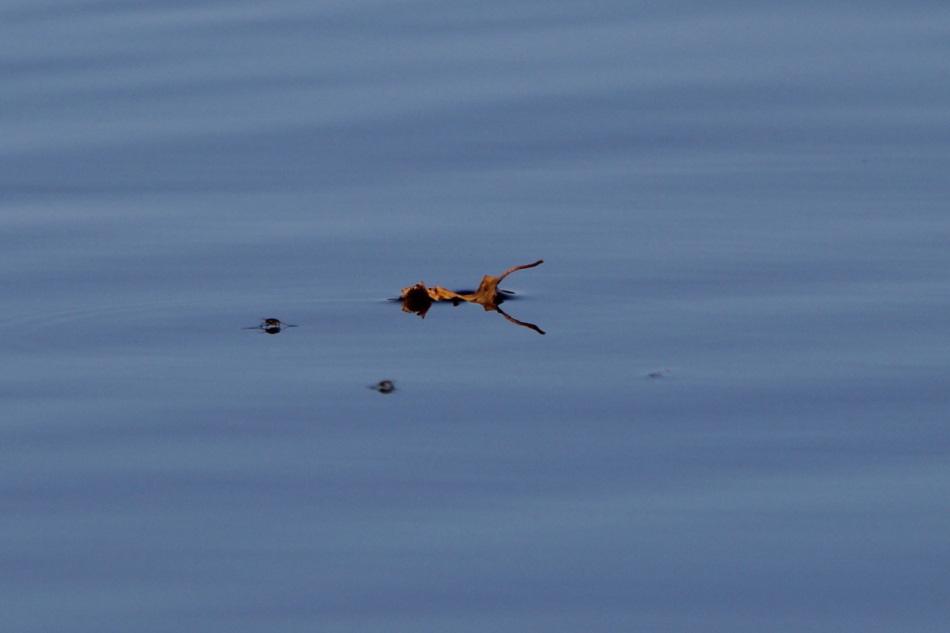 Water striders and leaf