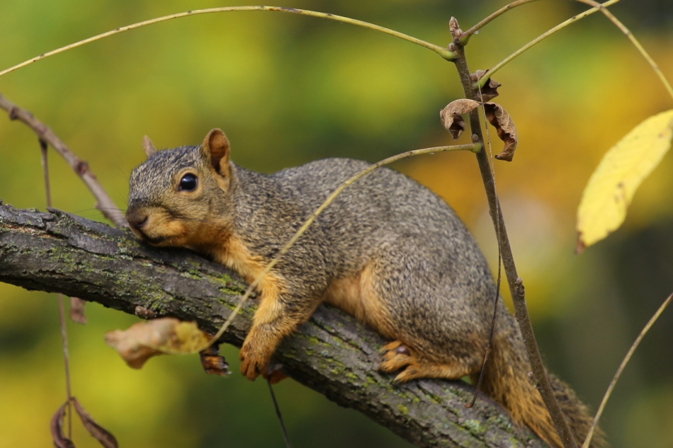 Fox squirrel relaxing