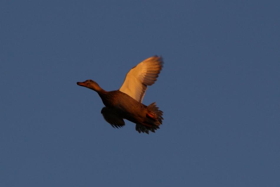 Female mallard flying in the fading sunlight