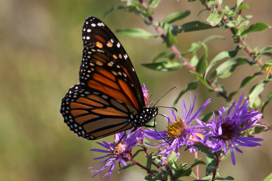 Monarch Butterfly on asters