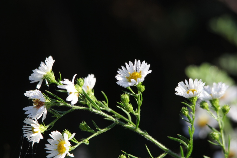 Dew covered daisies