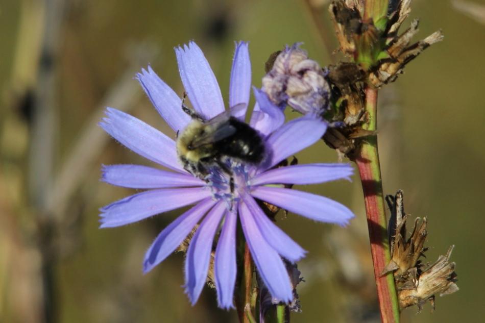 Chicory and bumblebee
