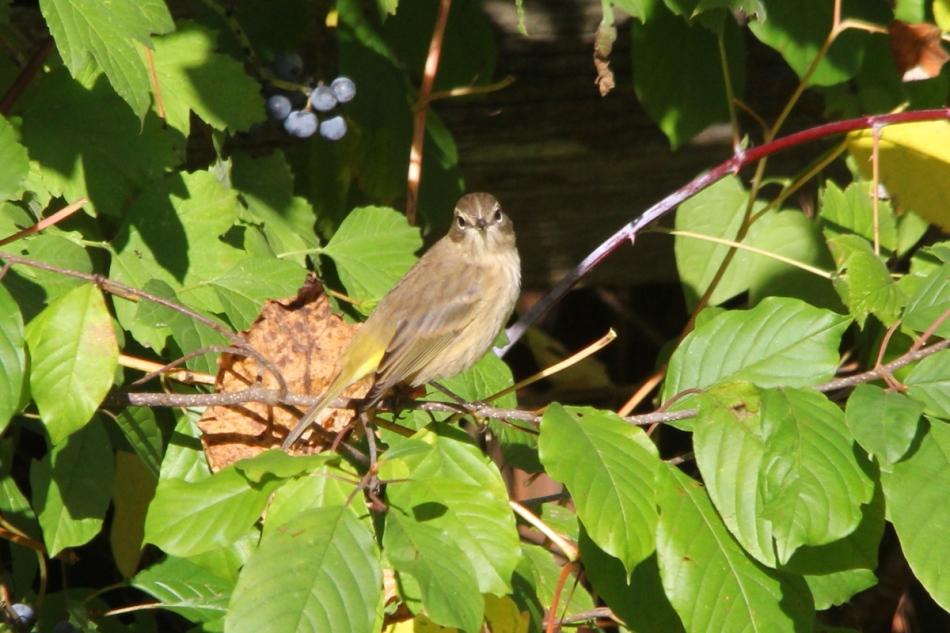 Palm warbler, non-breeding
