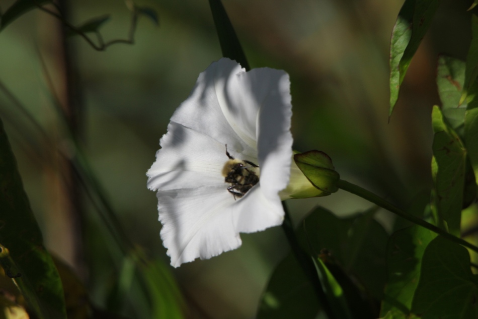Bindweed and bumblebee