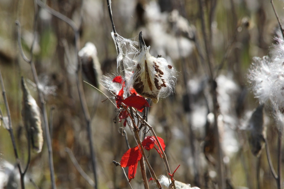 Milkweed seeds and a little color