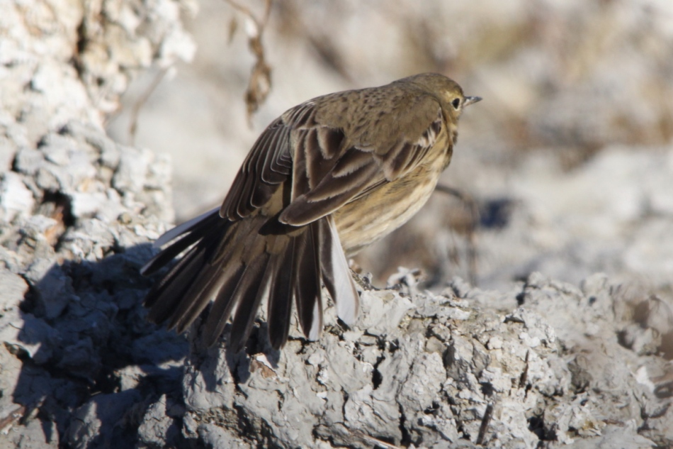 American pipit doing yoga