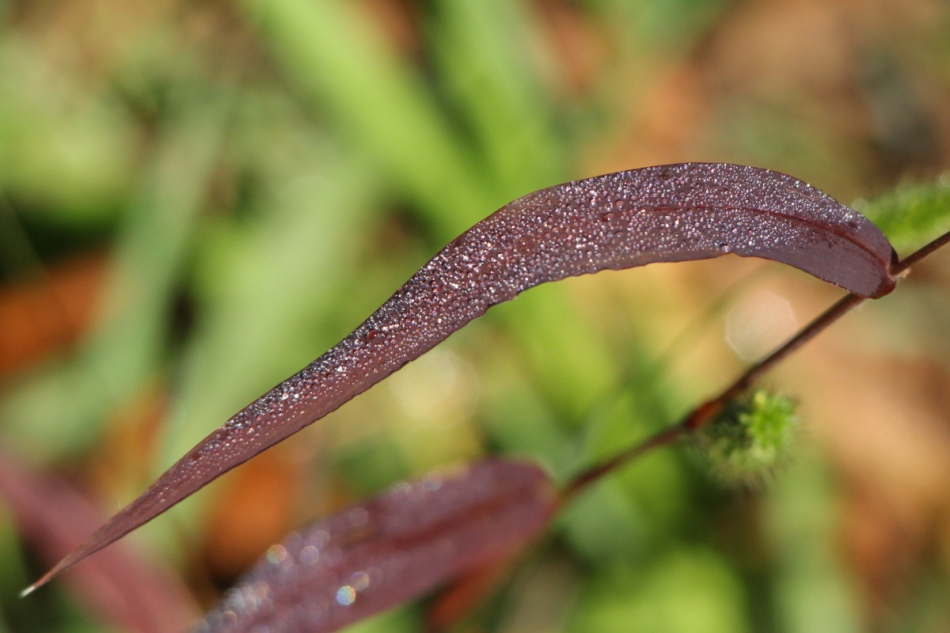 Dew on a burgundy blade of grass