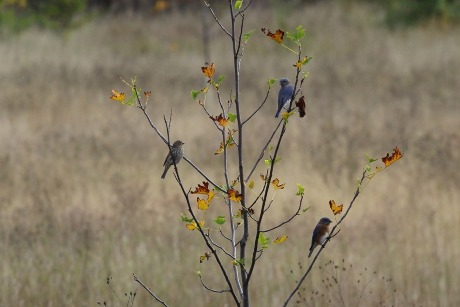 Two bluebirds and an English sparrow