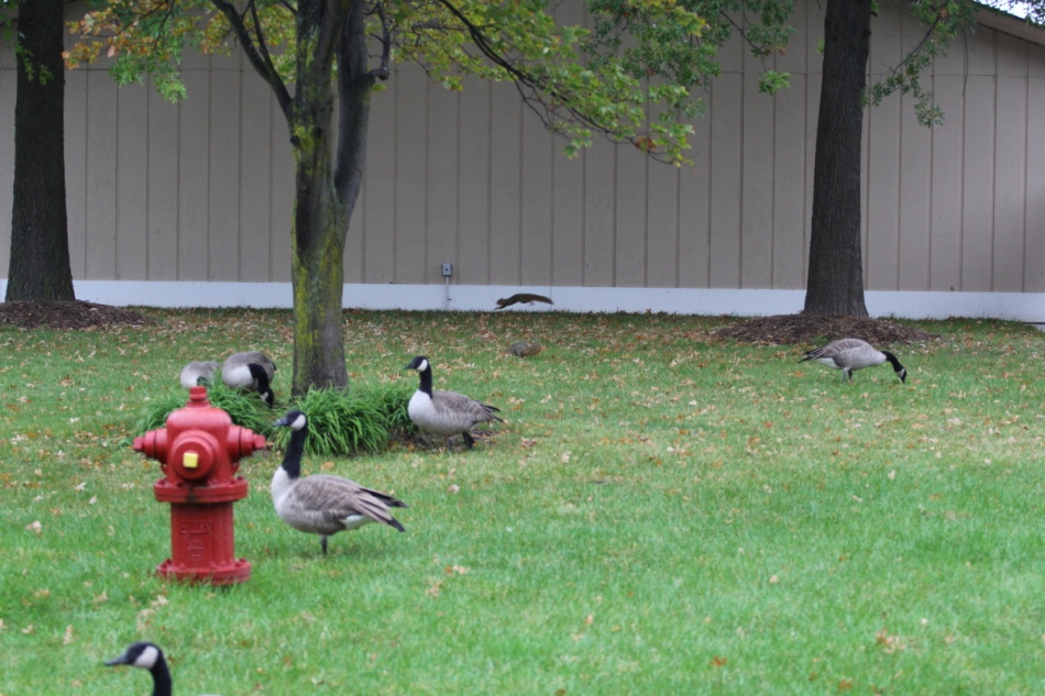 Canada geese and fox squirrels