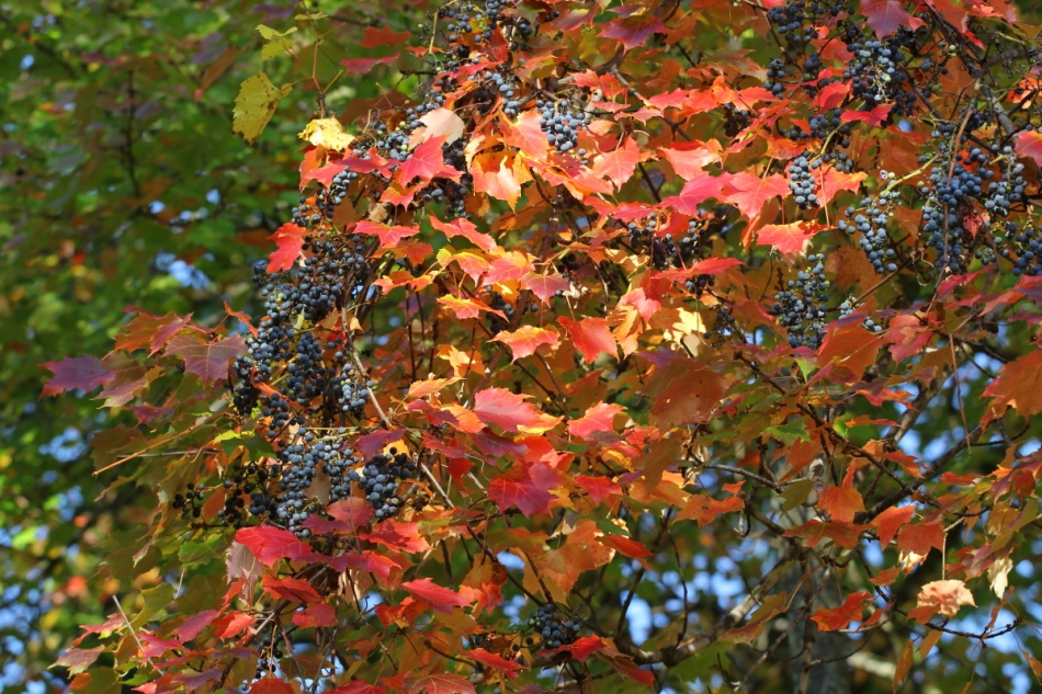 Grapes in a maple tree