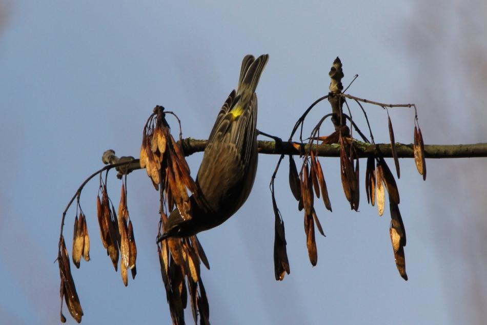 Acrobatic yellow-rumped warbler