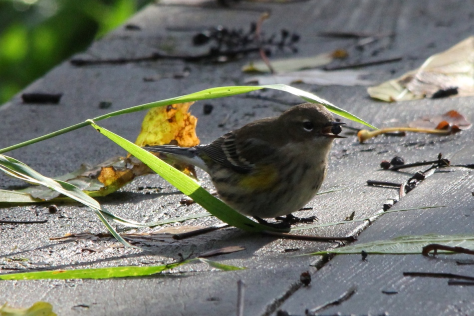 Yellow-rumped warbler pretending to be a sparrow