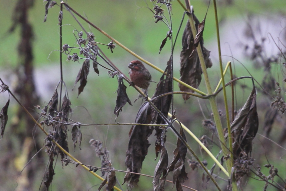 House finch eating lunch