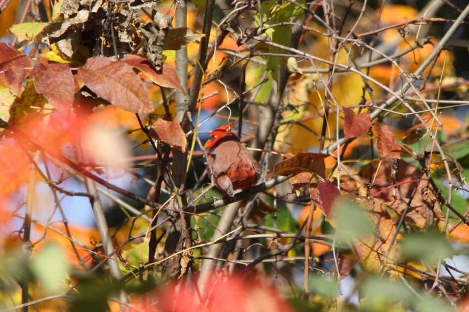 Fall colors with a bonus male northern cardinal