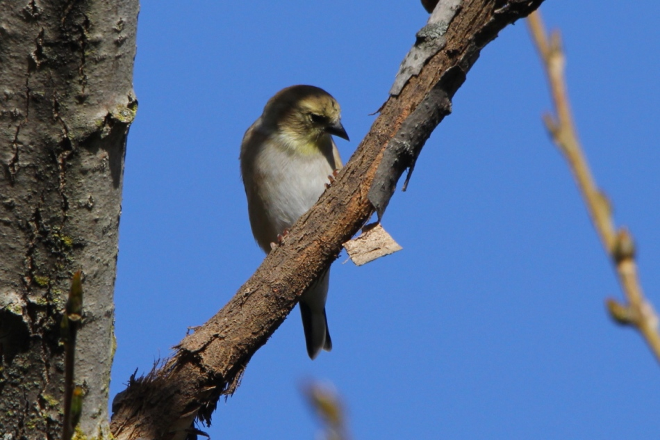 American goldfinch pretending to be a warbler