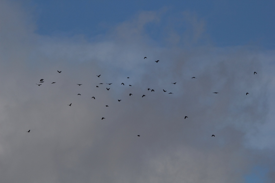 A murder of crows flying south