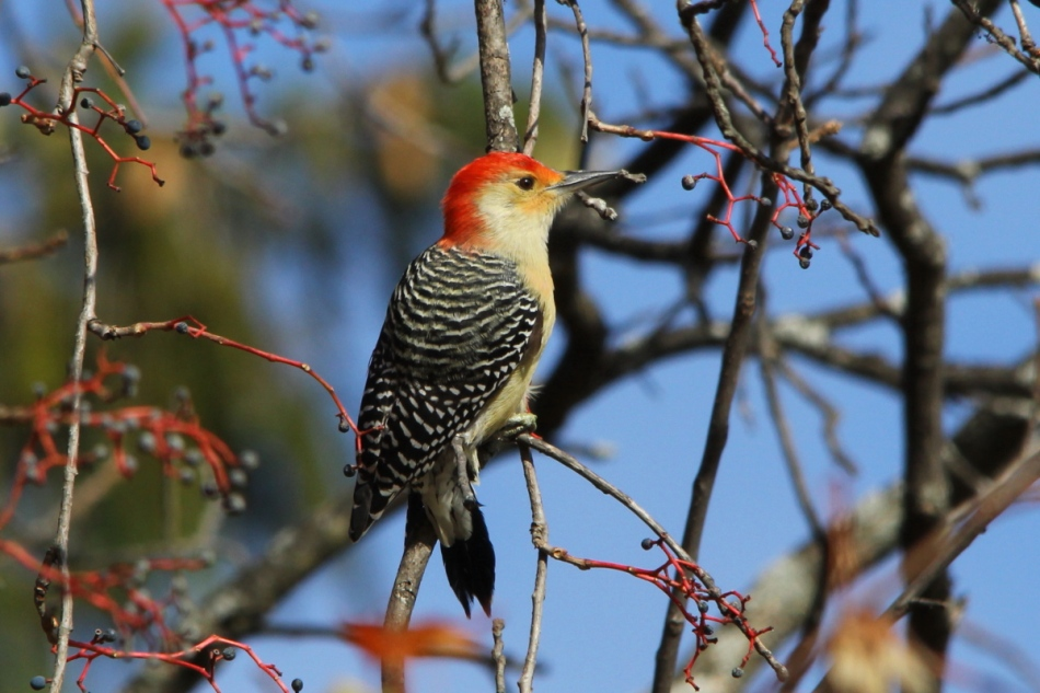 Red-bellied woodpecker eating berries