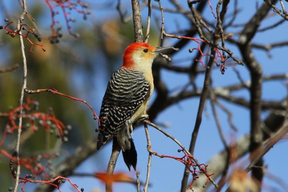 Red-bellied woodpecker eating berries