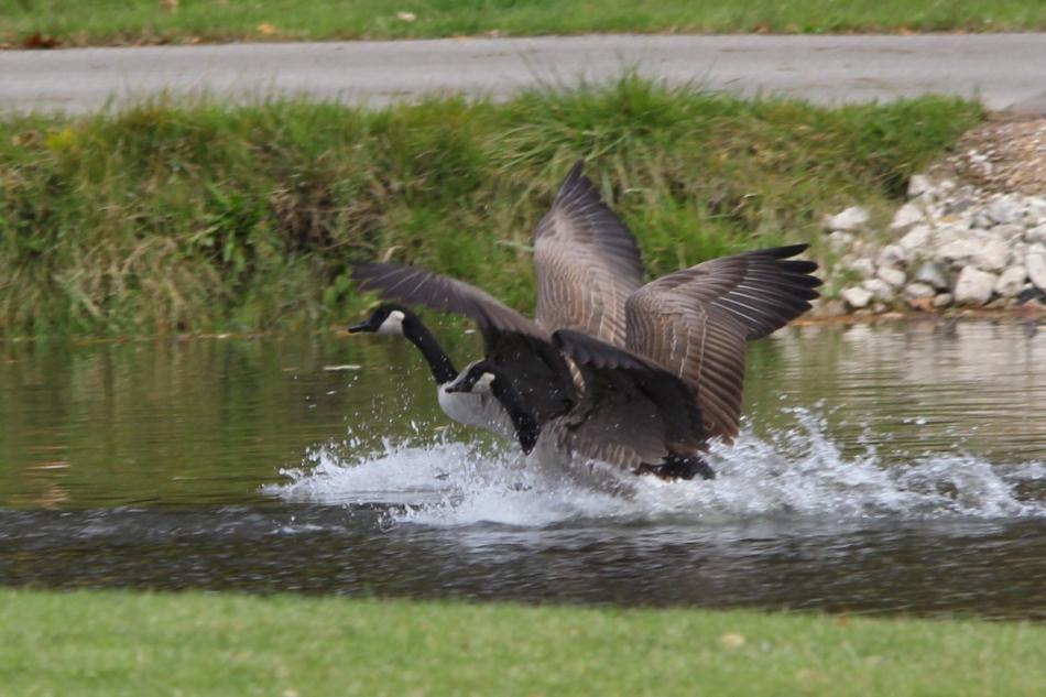 Canada geese displaying synchronized flight